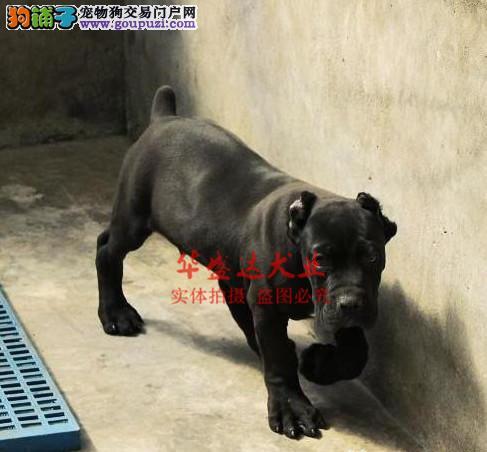 信誉第一 品质第一 极品卡斯罗卡斯罗健康质保十佳犬舍