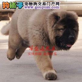 信誉第一 品质第一 高加索幼犬 健康质保 十佳犬舍