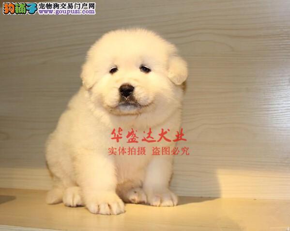 信誉第一 品质第一 纯种大白熊幼犬 健康质保 十佳犬舍