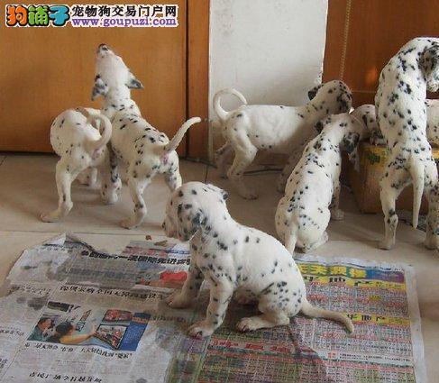 北京最大的斑点犬基地 完美售后 质量三包 可送货上门