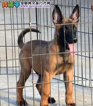 诚信交易、纯种马犬、健康终身保障、签协议送狗用品