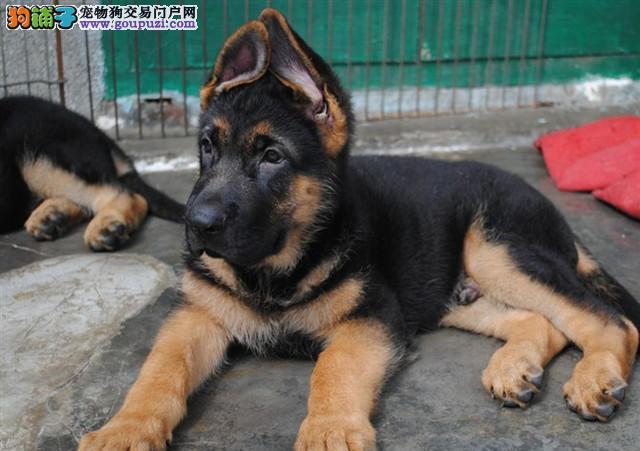 诚信交易、纯种德国牧羊犬健康终身保障签协议送狗用品