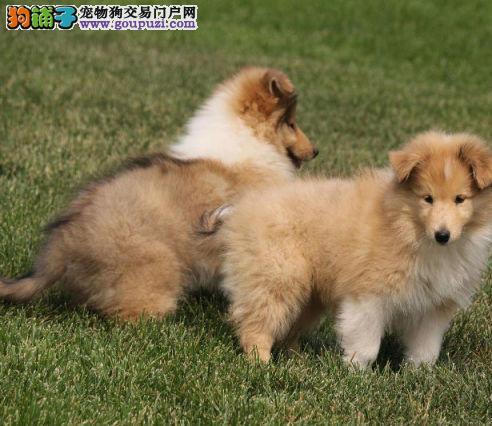 诚信交易、苏格兰牧羊犬健康终身保障、签协议送狗用品