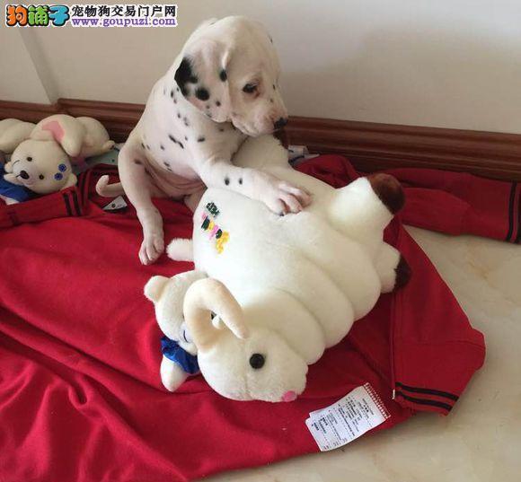 诚信交易、纯种斑点犬、健康终身保障、签协议送狗用品