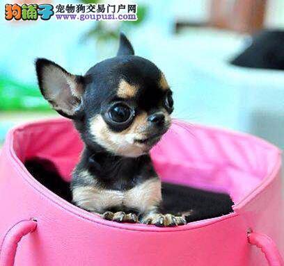 诚信交易、纯种吉娃娃、健康终身保障、签协议送狗用品