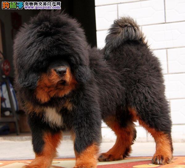 诚信交易、纯种藏獒犬、健康终身保障、签协议送狗用品