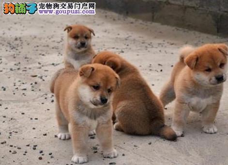 诚信交易、纯种柴犬、健康终身保障、签协议送狗用品