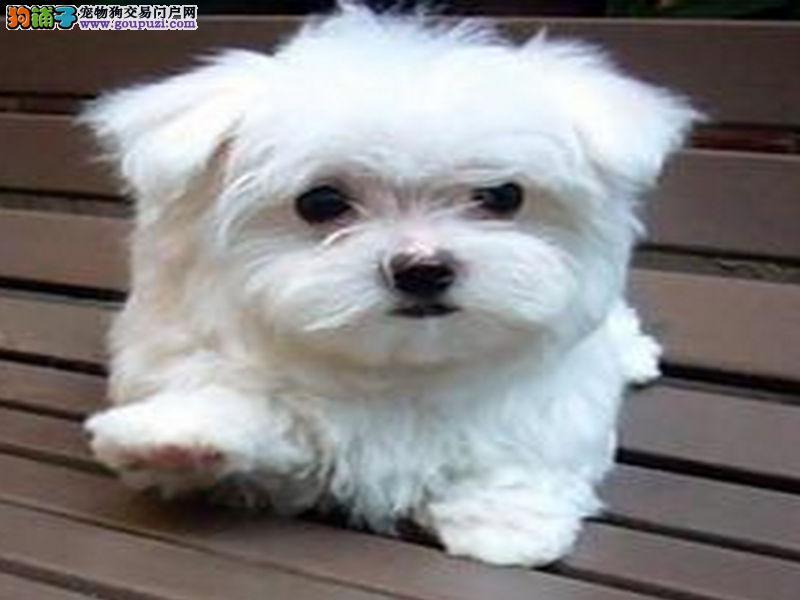 纯种马尔济斯幼犬 宠物狗活体出售 茶杯犬 白色