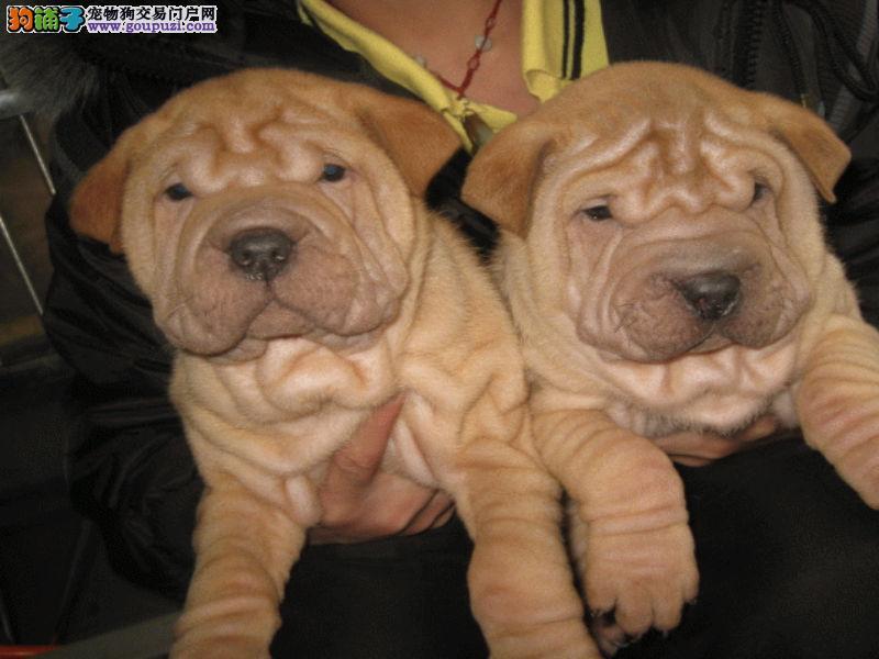 基地出售2-4个月纯种沙皮狗 保纯保健康