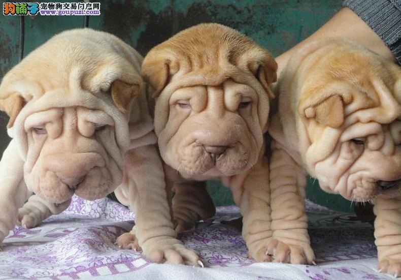 重庆沙皮犬买卖重庆沙皮犬价格重庆沙皮犬多少钱