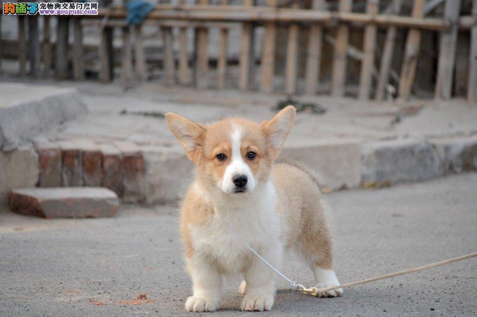 长沙犬舍繁殖 网络推广 实体店销售 柯基犬