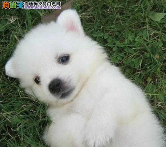 银狐 尖嘴犬 美丽动人的微笑犬欢迎上门选购