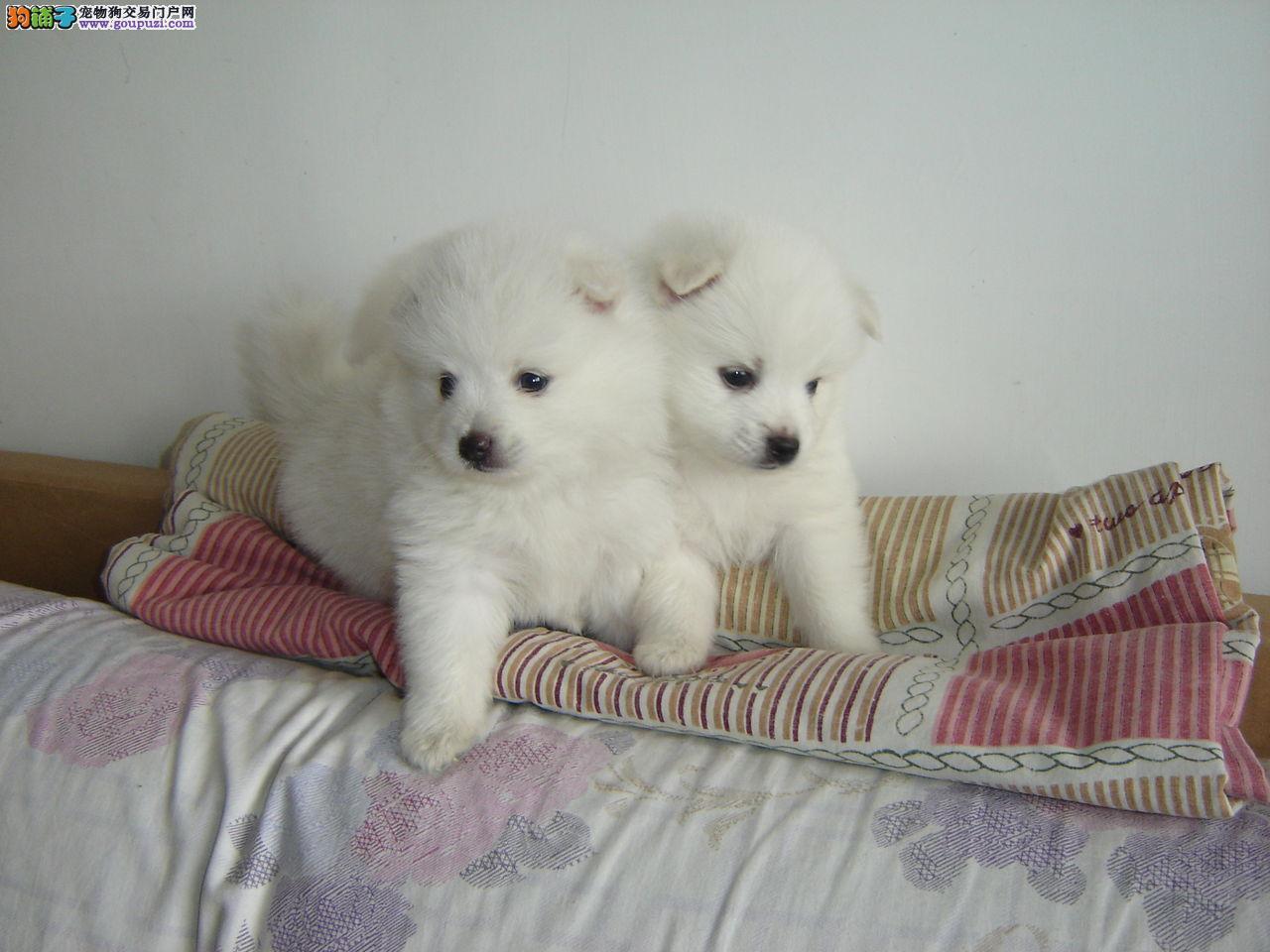 银狐犬宝宝热销中 专业繁殖宝宝健康 专业信誉服务
