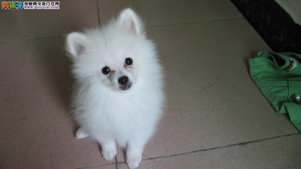 纯血统银狐犬幼犬,低价热销保健康,当天付款包邮
