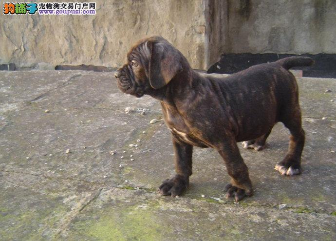 完美品相血统纯正卡斯罗犬出售优惠出售中狗贩子勿扰