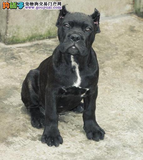 高端卡斯罗犬幼犬、真实照片保纯保质、专业信誉服务