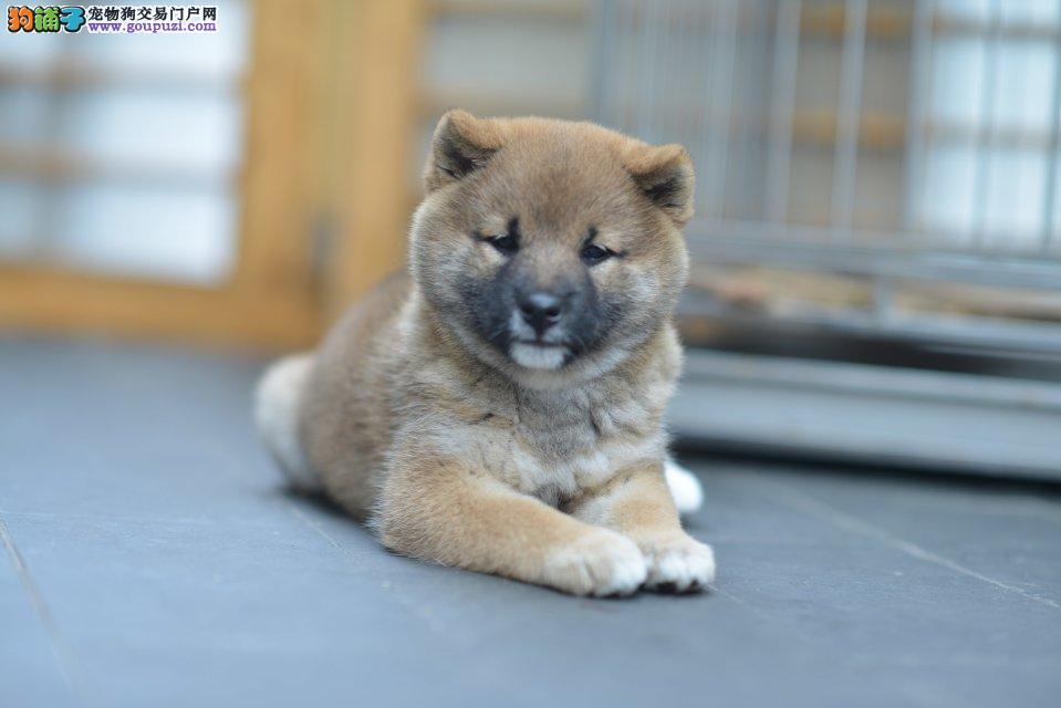 精品柴犬幼犬一对一视频服务买着放心全国送货上门