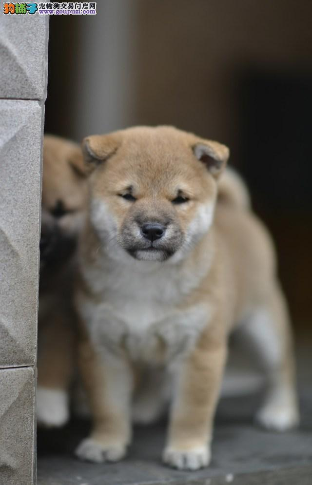 武威自家狗场繁殖直销柴犬幼犬优质售后服务
