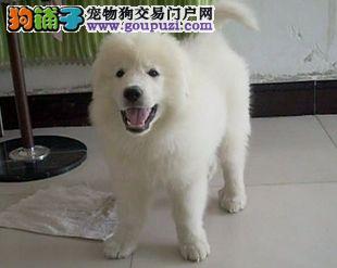 极品大白熊在这里优惠纯种和健康CKU认证犬业