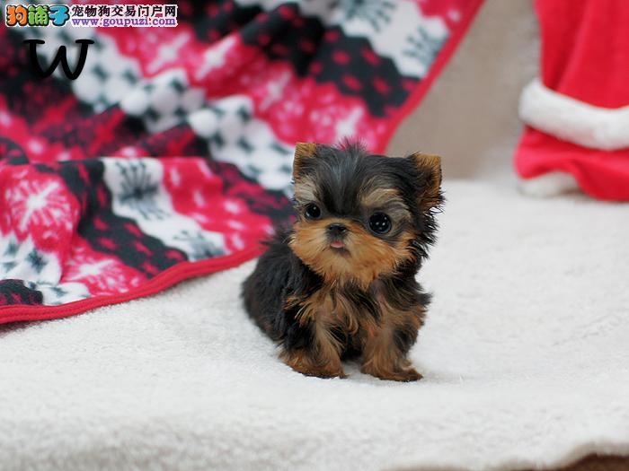 广州直销英国纯种长毛小型犬约克夏幼犬