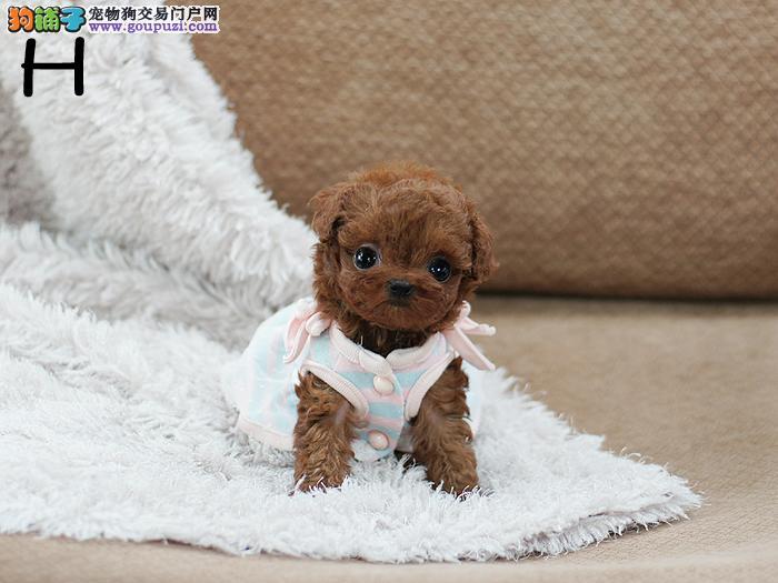 沧州犬舍畅销纯种泰迪犬卷毛体型小已训练