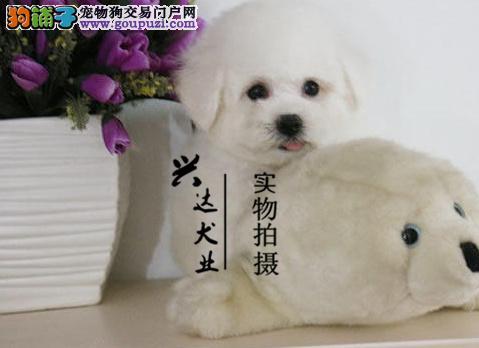 棉花糖比熊犬法国卷毛比熊 欢迎来犬舍挑选