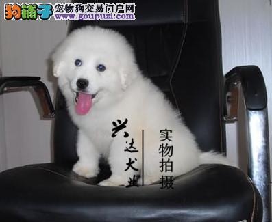 出售·顶级大白熊·血统纯正·保证健康
