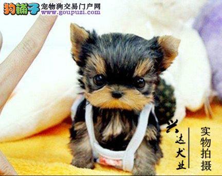 赛级约克夏幼犬,保证纯种和健康。可签订协议