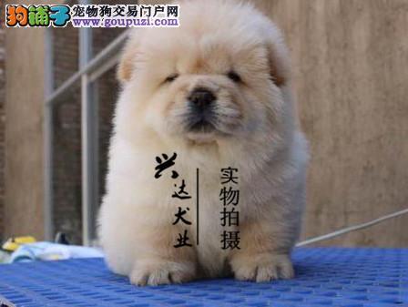 北京松狮专业养殖基地直销赛级松狮犬 随时可上门挑选