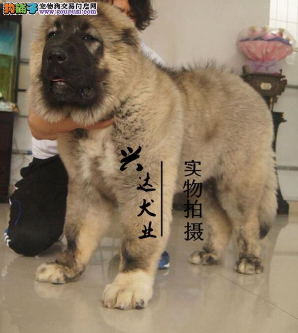 大骨量猛犬高加索犬幼犬出售 俄罗斯进口种犬