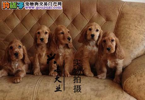 顶级 可卡 犬舍直销 让顾客买的优惠放心和纯种