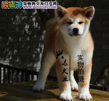 中国高端秋田犬繁育专家北京秋田犬舍出售顶级秋田幼犬