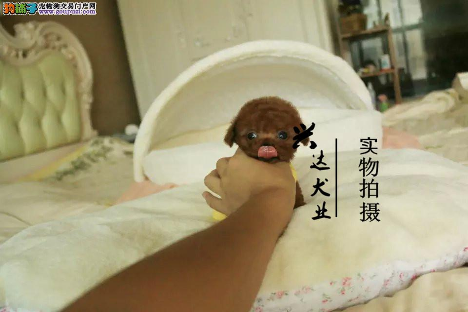 纯度第一 品质第一 茶杯幼犬 健康质保