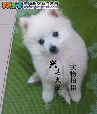 银狐犬 银狐犬舍直销 打完3针 证书齐全售出签协议