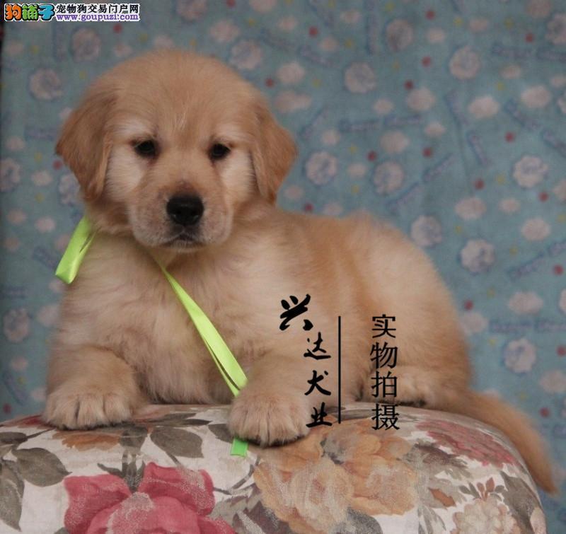 纯种高端顶级金毛最佳伴侣犬健康出售
