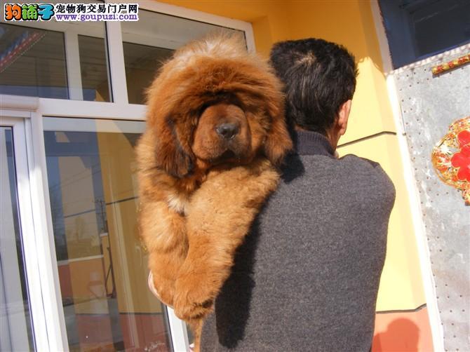 犬舍直销顶级 藏獒 让顾客买的优惠放心和纯种。