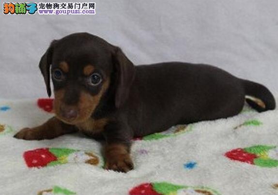 100%纯种保证健康 能看家的小家伙棕红色腊肠犬