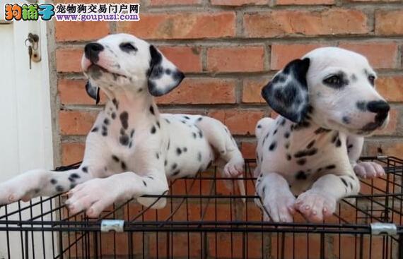 品质健康有保障烟台斑点狗热卖中喜欢它的快来