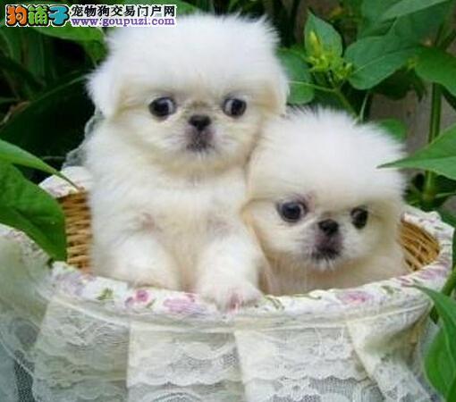 深圳京巴犬、京巴实图、深圳宠物狗销售点