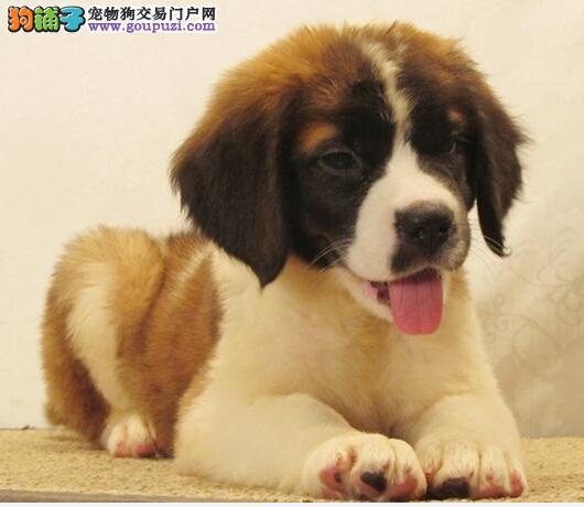 权威机构认证犬舍 专业培育圣伯纳幼犬看父母照片喜欢加微信