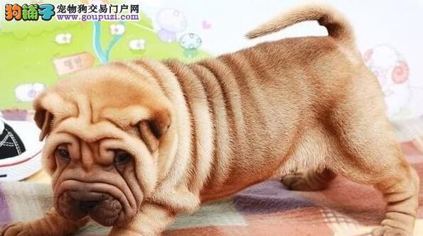 重庆哪里有卖沙皮幼犬憨厚沙皮包纯种可办理血统证明