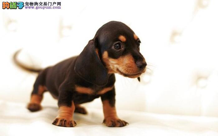出售纯种迷你腊肠幼犬 公母均有 疫苗齐全 健康保