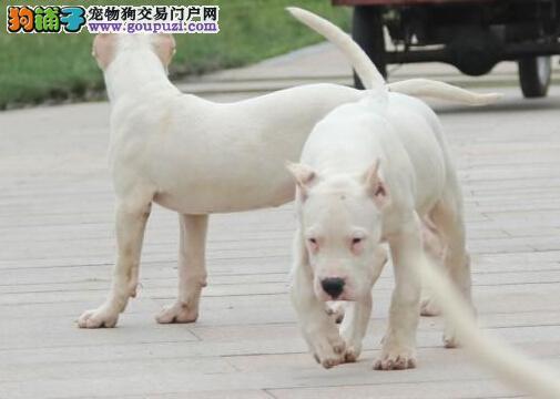 狗场直销 凶猛猎犬杜高犬幼崽 健康纯种 看家看厂必备