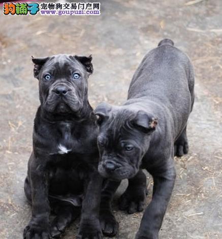 精品卡斯罗幼犬/实物拍摄/纯种健康质保三年可签协议