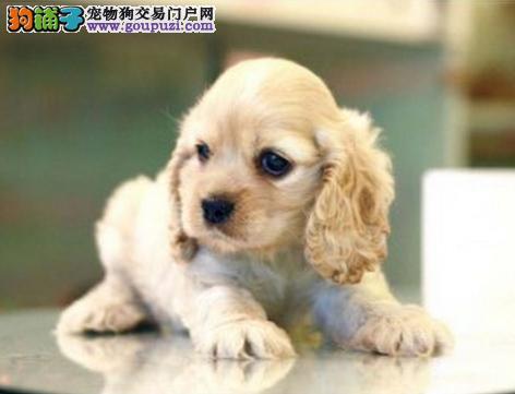 直销可卡幼犬,金牌店铺价位最低,签订活体协议