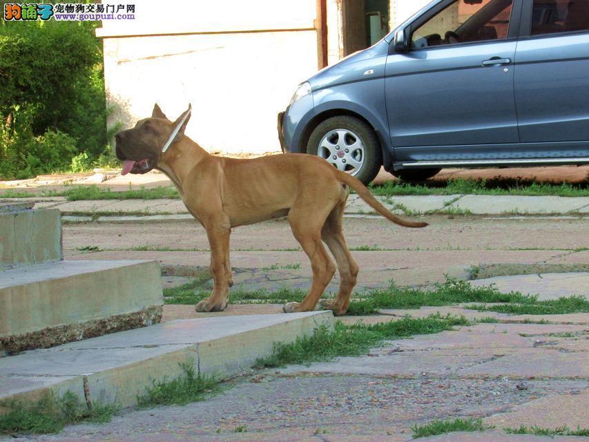 火爆出售血统纯正的乌鲁木齐大丹犬微信咨询看狗狗视频