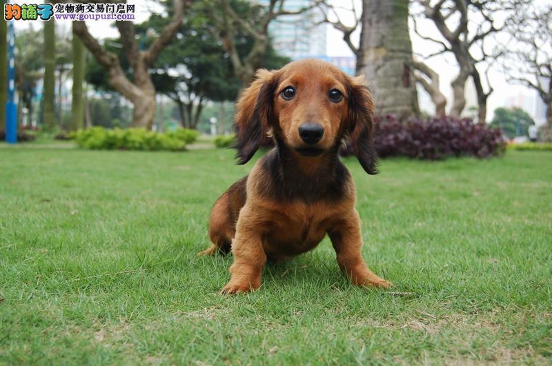 小巧可爱多只可挑腊肠犬 纯血统铁包金黄色腊肠犬出售