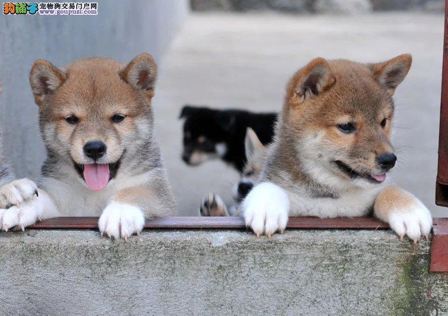 西安自家养殖纯种柴犬低价出售以品质惊世人