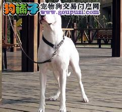 赛级品相杜高犬幼犬低价出售带血统证书签活体协议