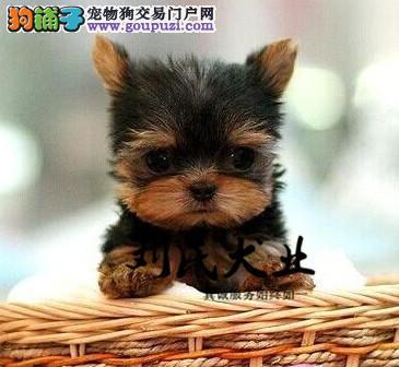 颜色齐全,约克夏犬,包纯种签协议北京可送货上门